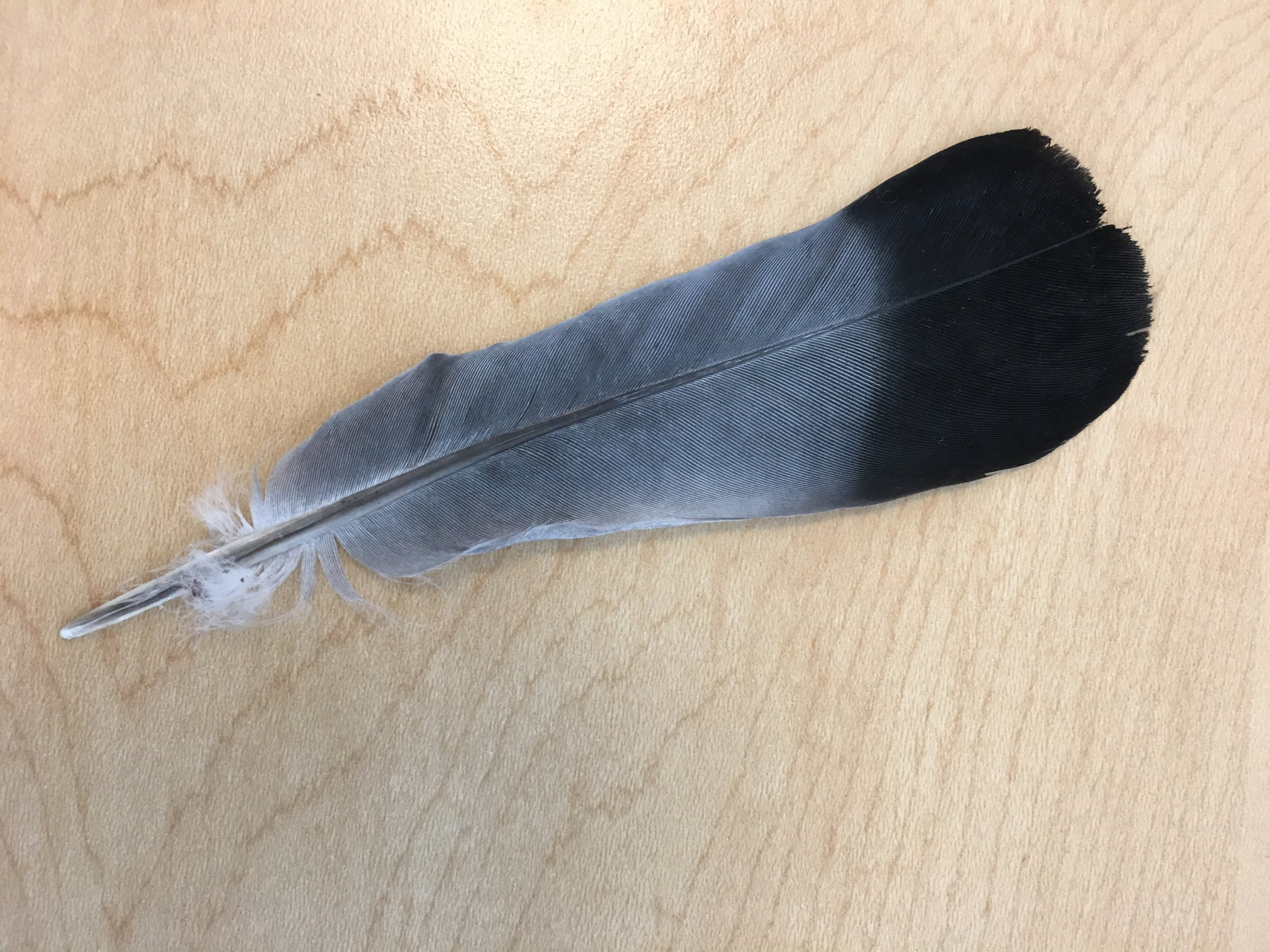 A humble Rock Dove feather. An easy bird to see just about anywhere. Which means a girl can bird anywhere if she looks up (or down as was the case for this feather).