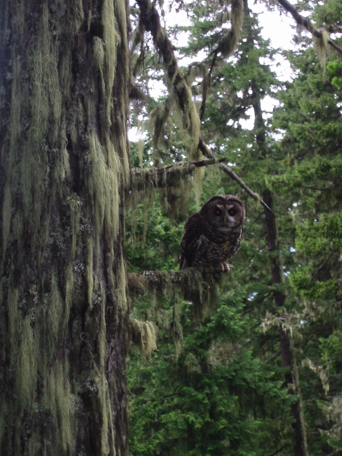 A Northern Spotted Owl female in the North Cascades, 2006. Sometimes birding mania takes hold and I skip work to accompany a friend doing owl surveys, which is how I saw this beauty.