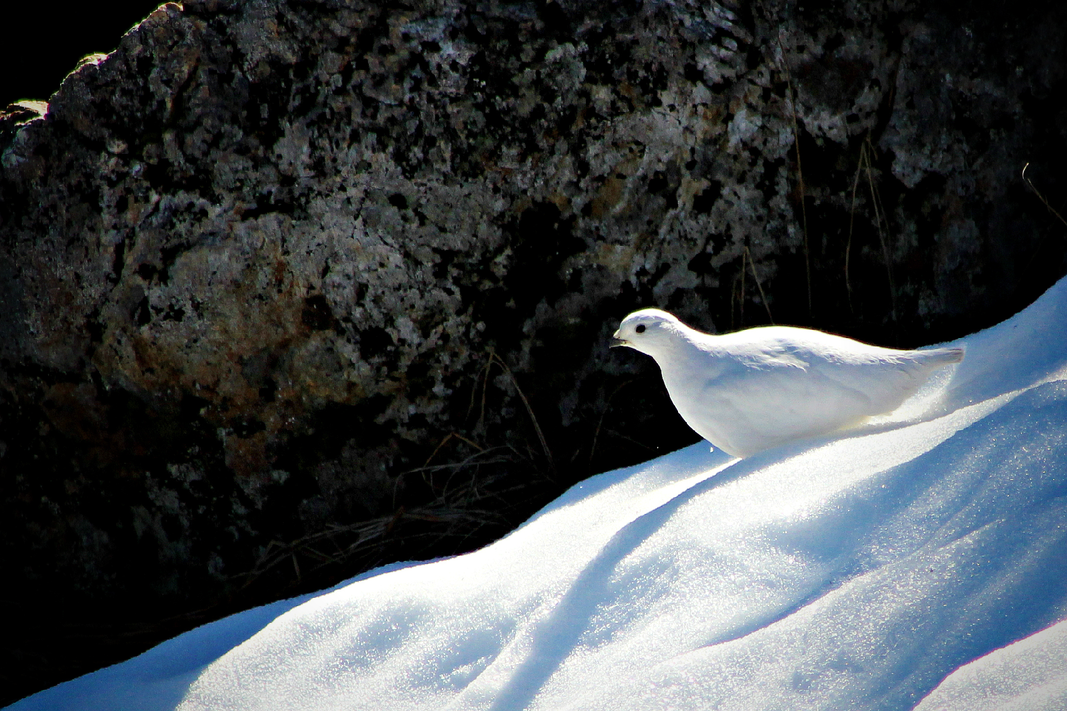 The elusive White-tailed Ptarmigan on Mount Seymour, 2015.