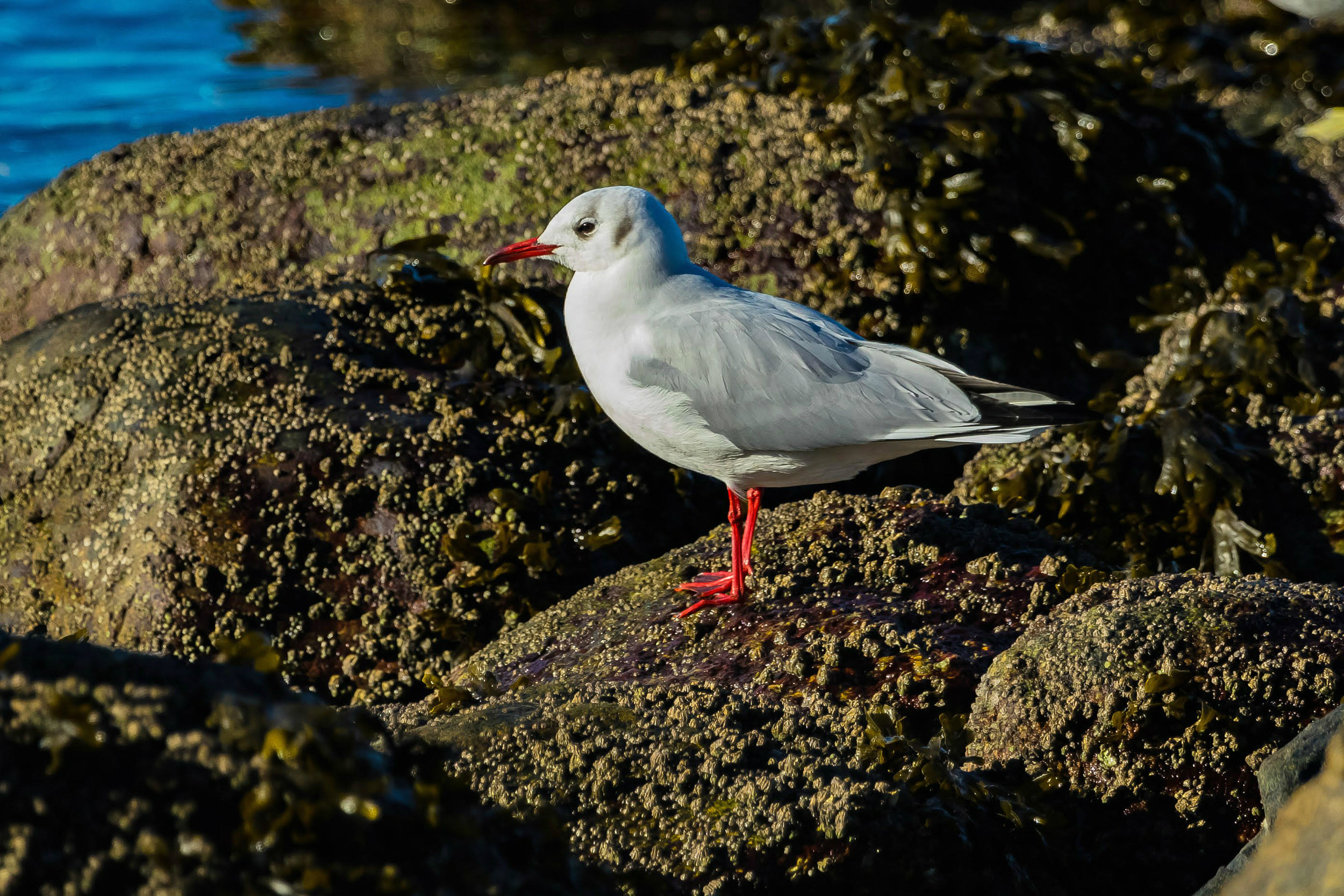 Rare Black Headed Gull on the sea wall at Stanley Park, Vancouver, Canada. Photo by Melissa Hafting.
