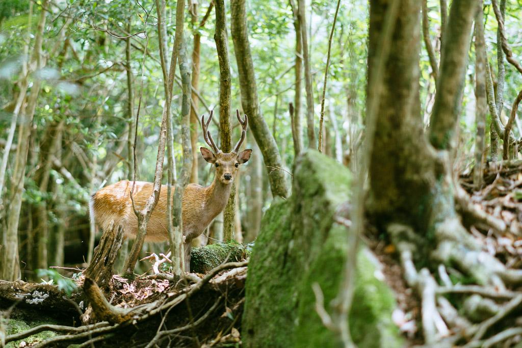 Sika Deer along the Seibu Rindo Forest Road, Yakushima