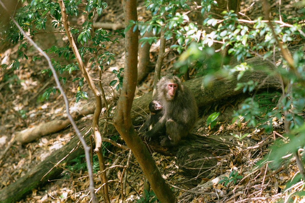 Yakushima Macaque spotted from the Seibu Rindo Forest Road.