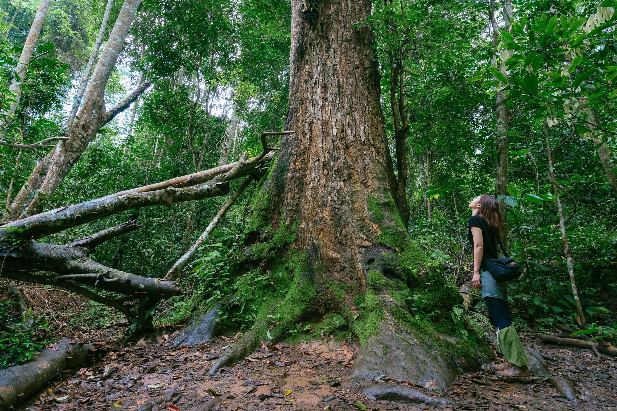 Big Trees, Khao Yai National Park