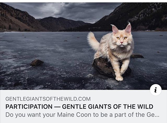 "Our personal project ""Gentle Giants of The Wild"" started in 2018, and ever since it has grown rapidly.  As you already know, all the pictures of our cats in different places are shot by us on location - not photoshopped. Now we are ready to plan our very first (of many) trips to photograph...not our Maine Coons, but...YOURS! :D  We're inviting everyone who owns pedigreed Maine Coons, worldwide, to fill out our participation form so that we can start planning routes for our trips.  www.gentlegiantsofthewild.com/participate  The best thing? There will be NO fee for the photography work - just a sharing of travel costs between participants, so that we can actually make it happen. The more who participate, the cheaper it will be for everyone.  So, please feel free to tag / share with your Maine Coon owning buddies if you think they might enjoy participating in this as well! #gentlegiantsofthewild #metatroneyes"