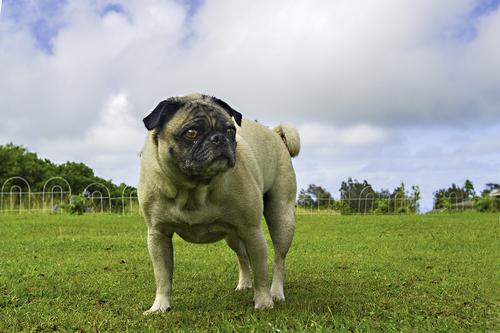hawaiian-pug-girl.jpg