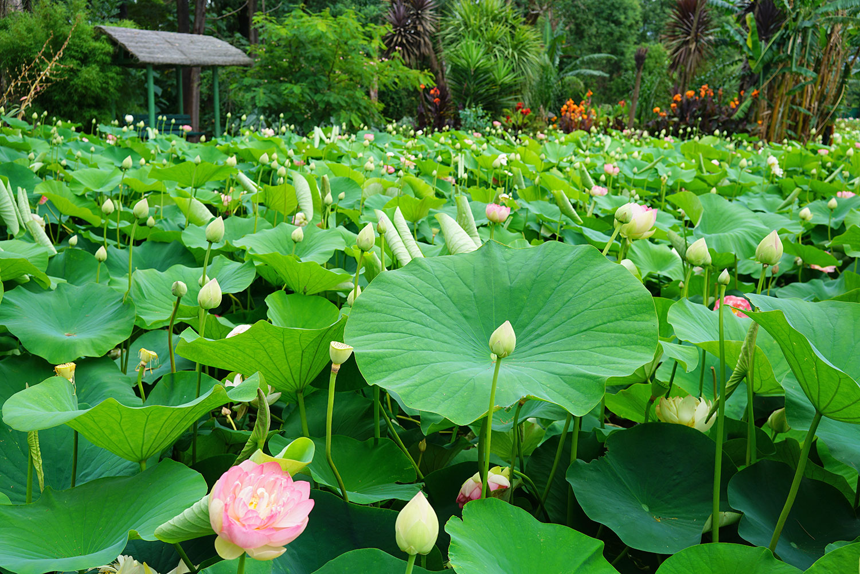 Blue Lotus Water Garden in Yarra Valley, Victoria, Australia. ©Thaneeya McArdle