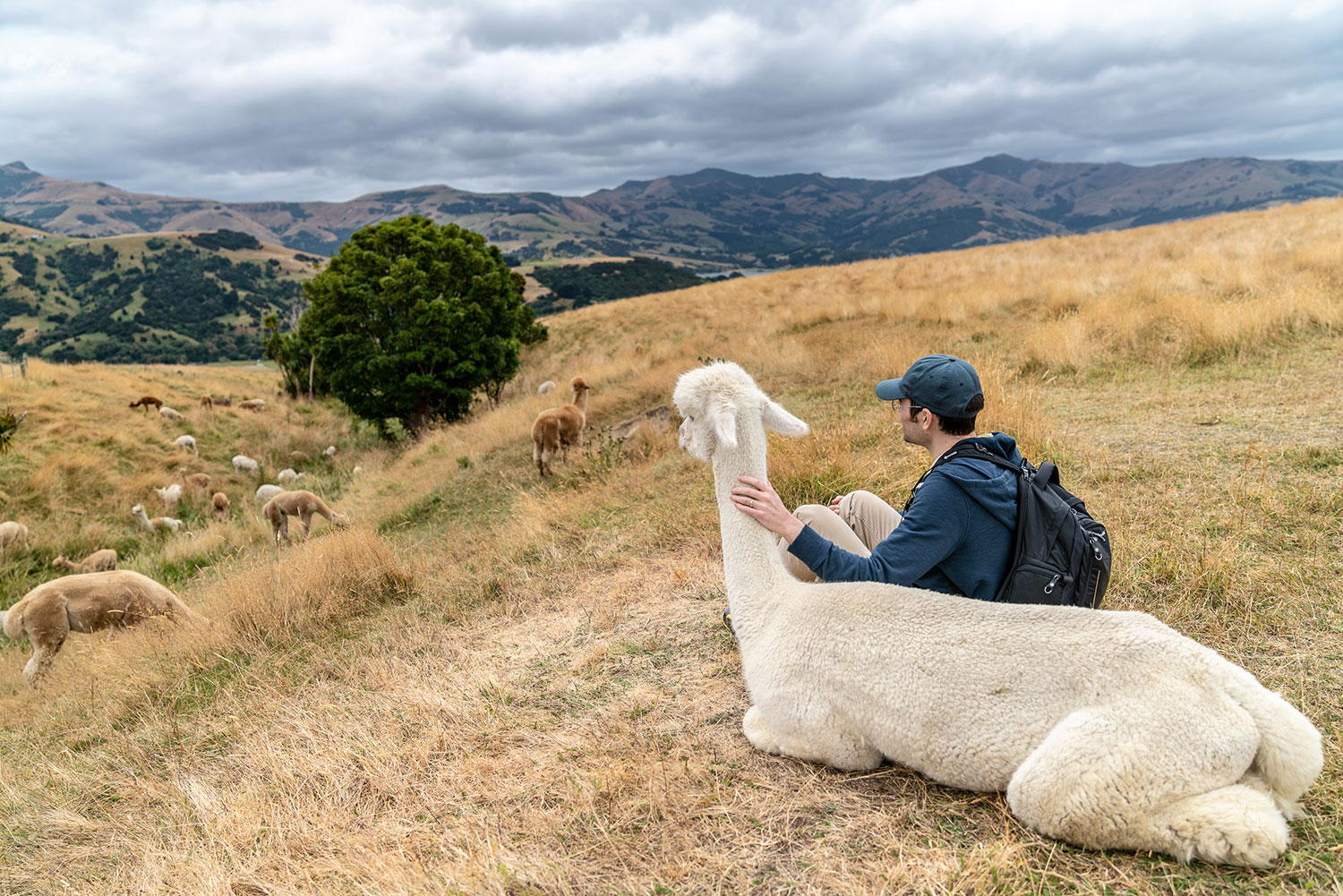 Marcus and alpaca at Shamarra Alpaca Farm in Akaroa, New Zealand