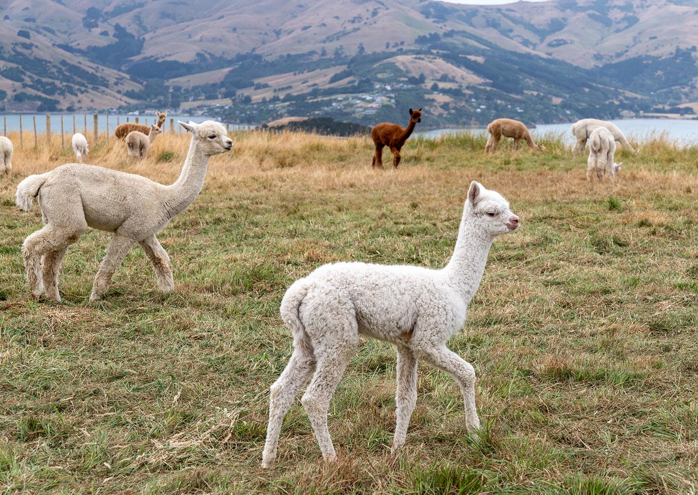 Cute alpacas at Shamarra Alpaca Farm in Akaroa, New Zealand