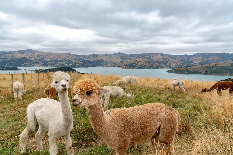 Shamarra Alpaca Farm in Akaroa, New Zealand