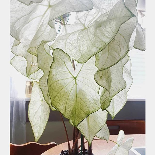 moonlight caladium 🌙 adding this beauty to my plant wish list.jpeg