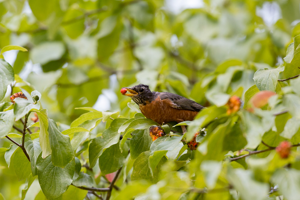 Robin-and-Dogwood-Fruit-_DSC7529.jpg