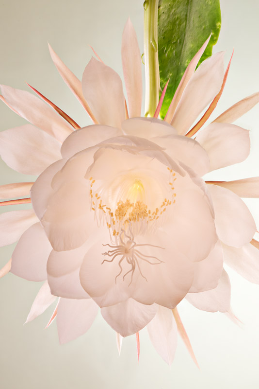 Night-Blooming-Cereus-#3-Stack-6533-6540-FINAL.jpg