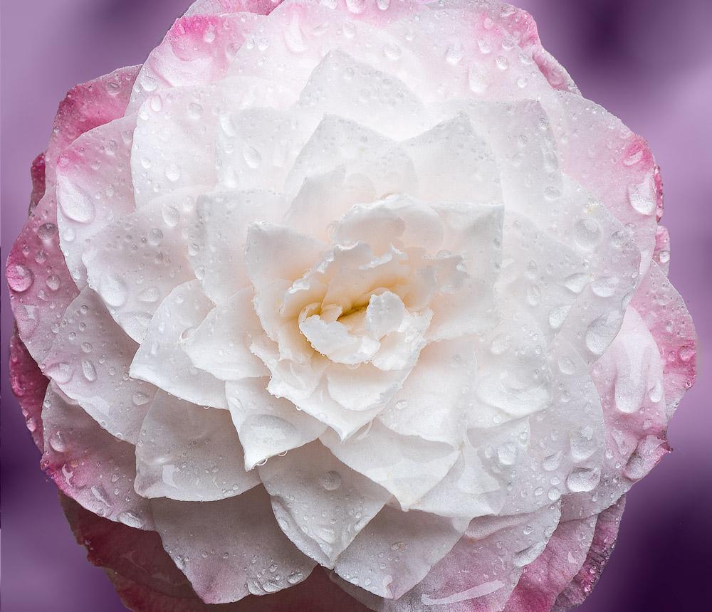 Camellia-Rainy-Day-_DSC3003-3006-HDR-1.jpg