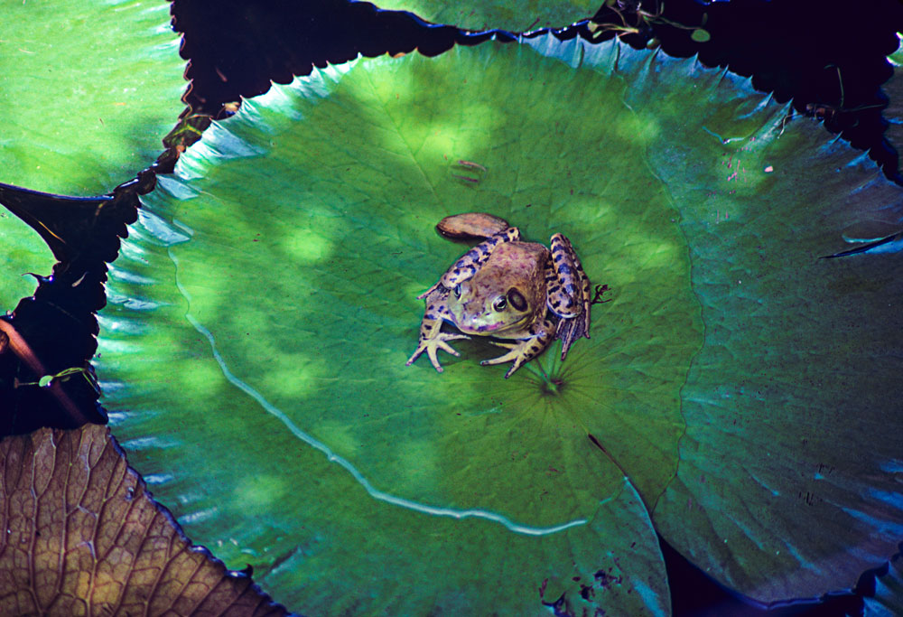 400-00487-02-Frog-on-the-Lilly-Pad-2-2015-Edit-1000px-Wide.jpg