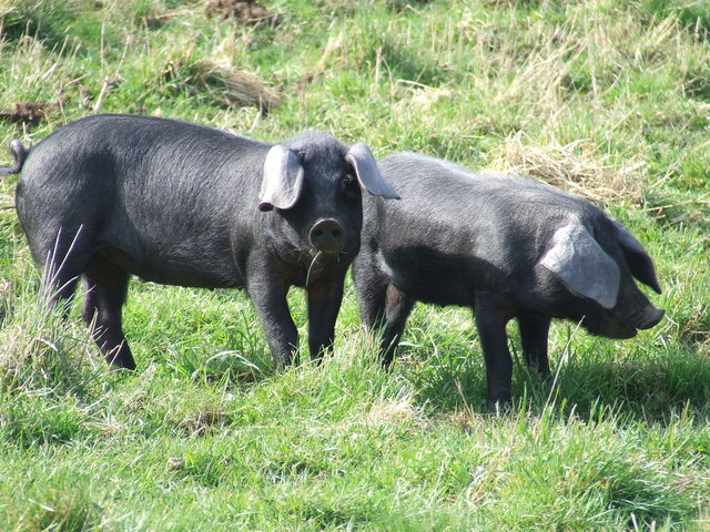 Large black hogs on pasture