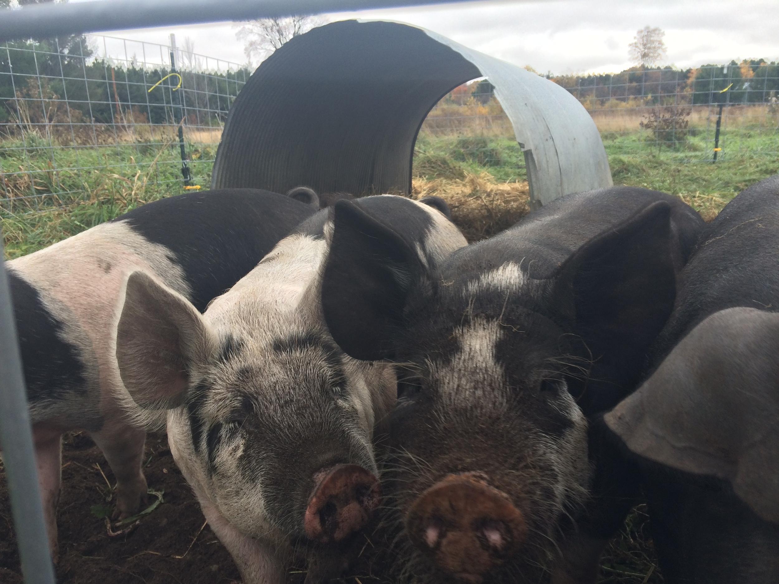 large black hog crosses at 4 months