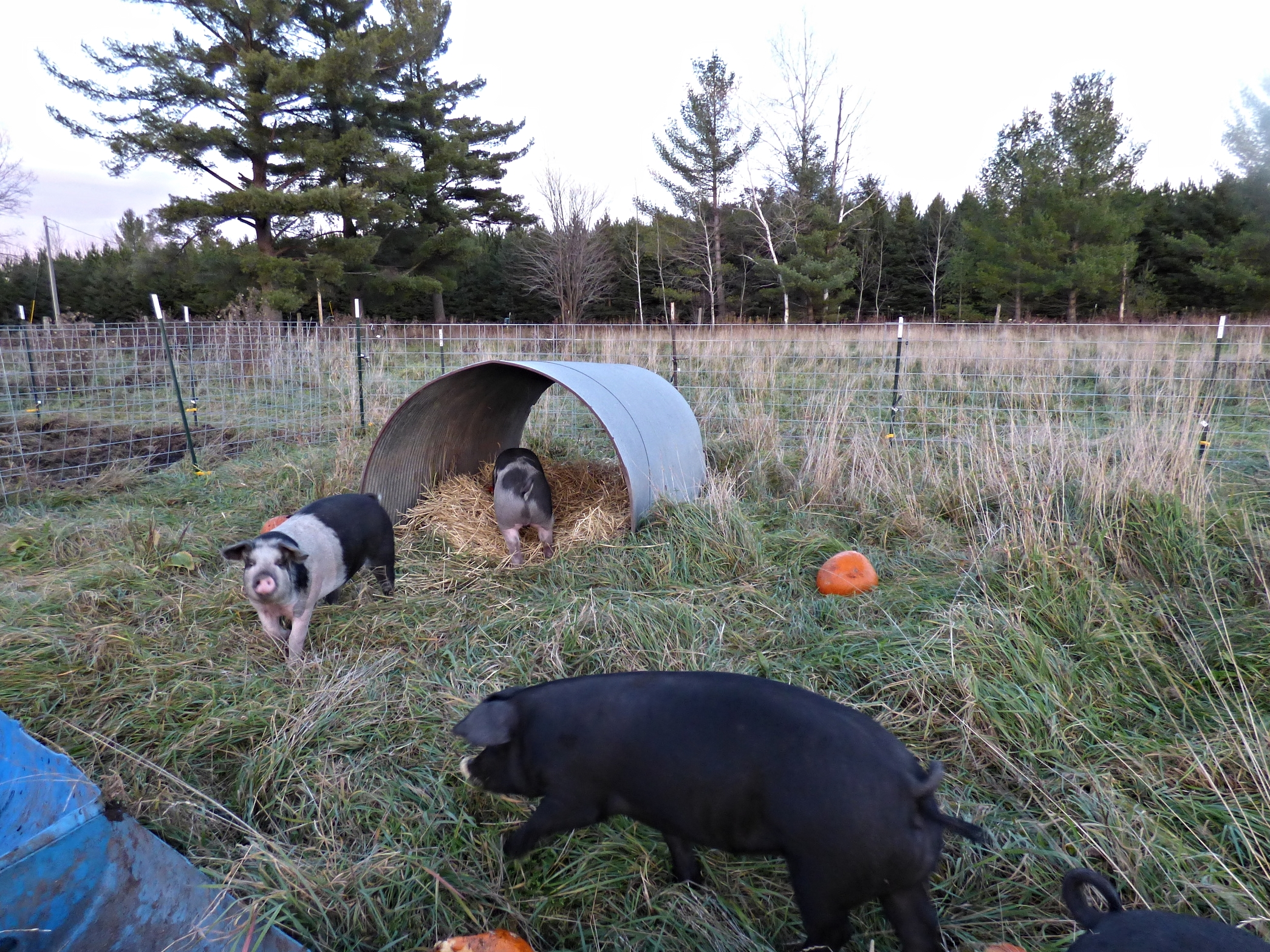 pastured pigs shelter and eating pumpkins