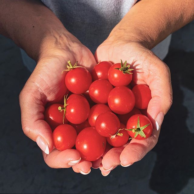I'm suddenly realizing that a majority of my feed is tomatoes. 'Tis the season, I guess. These red jewels are from my garden being held by my Queen, @paulasilvio.
