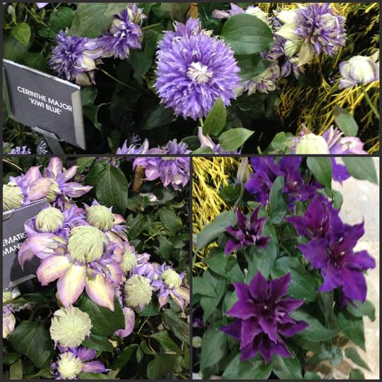 Raymond-Evison-Clematis-Philadelphia-Flower-Show-2013