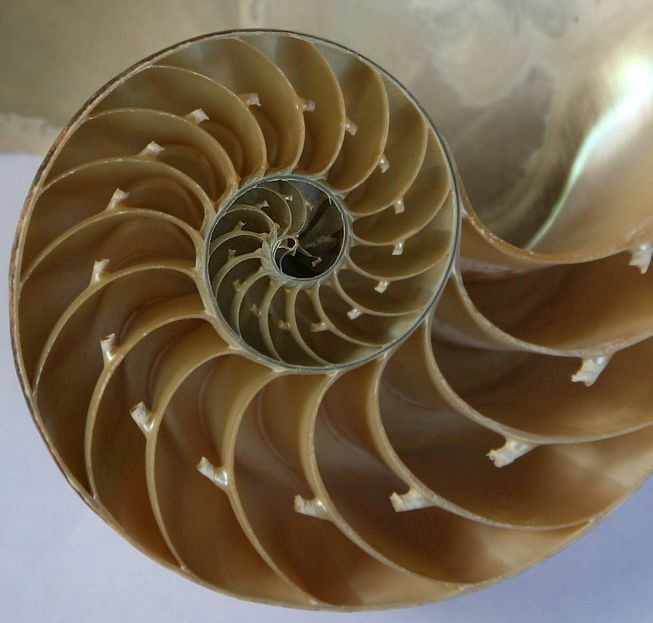 A chambered nautilus shell — a golden ratio fractal