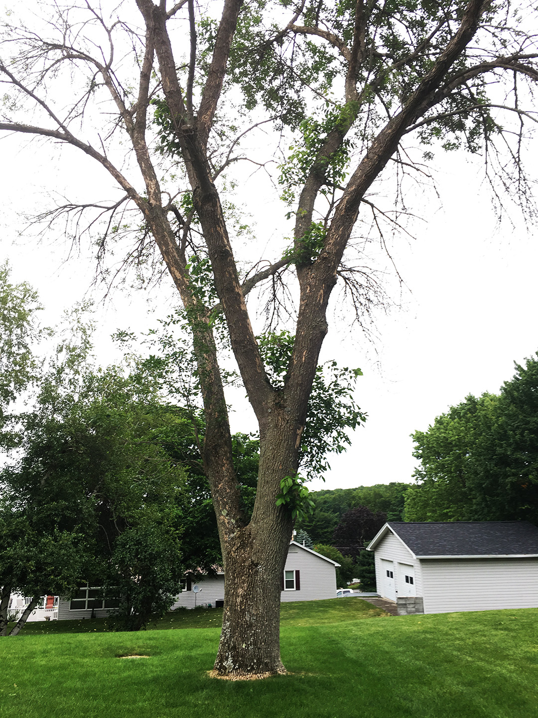 The tree from my brothers backyard that will soon live on as snowboards