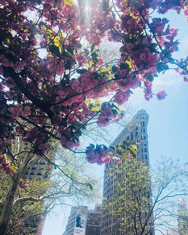 This warm weather has me falling in love with NYC all over again☀️🌸 . . . #cherryblossom #flatiron #nyc #newyork #spring #summer