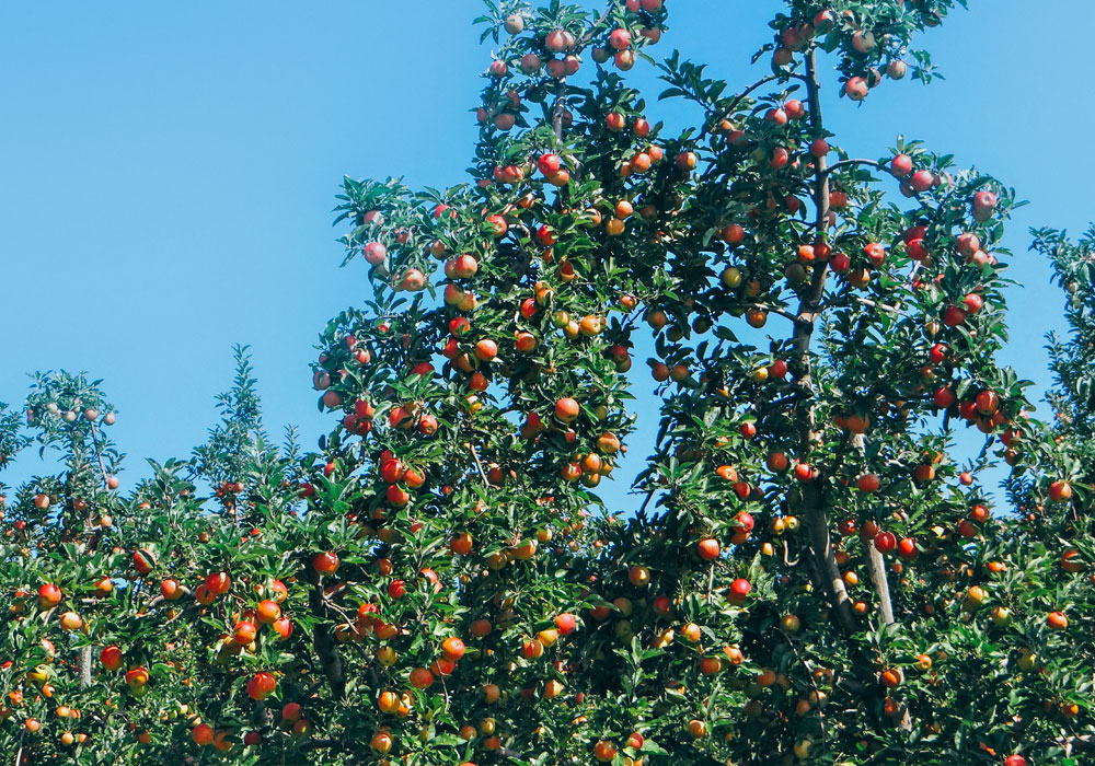 bear mountain orchards red apple branches