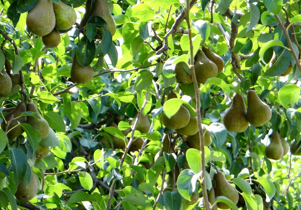 bear mountain orchards bosc pear fruit