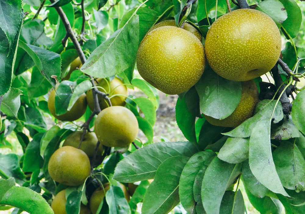 bear mountain orchards asian pear fruit