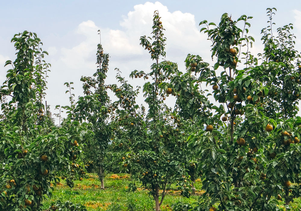 bear mountain orchards asian pear trees