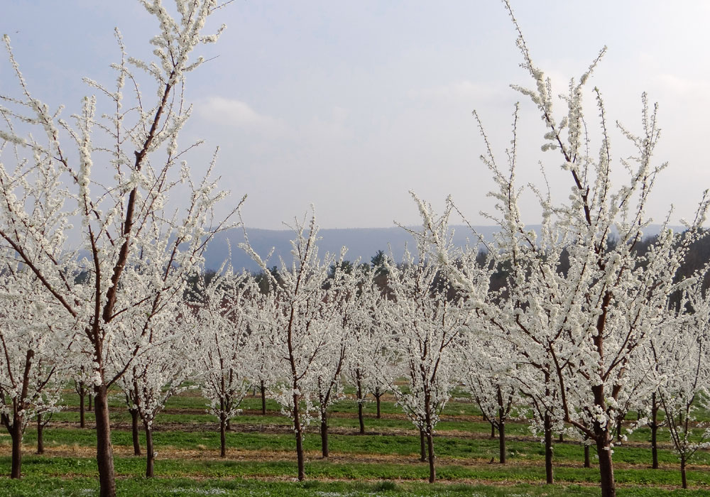 bear mountain orchards apple blossom trees
