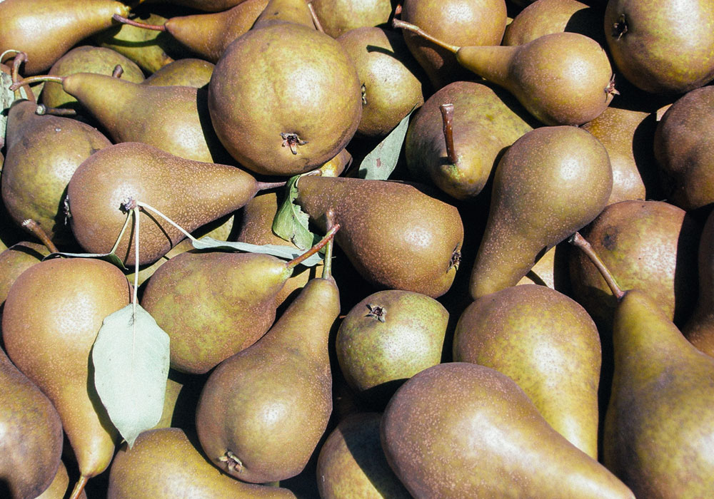 bear mountain orchards picked bosc pears