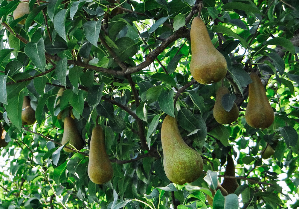 bear mountain orchards bosc pear fruit tree