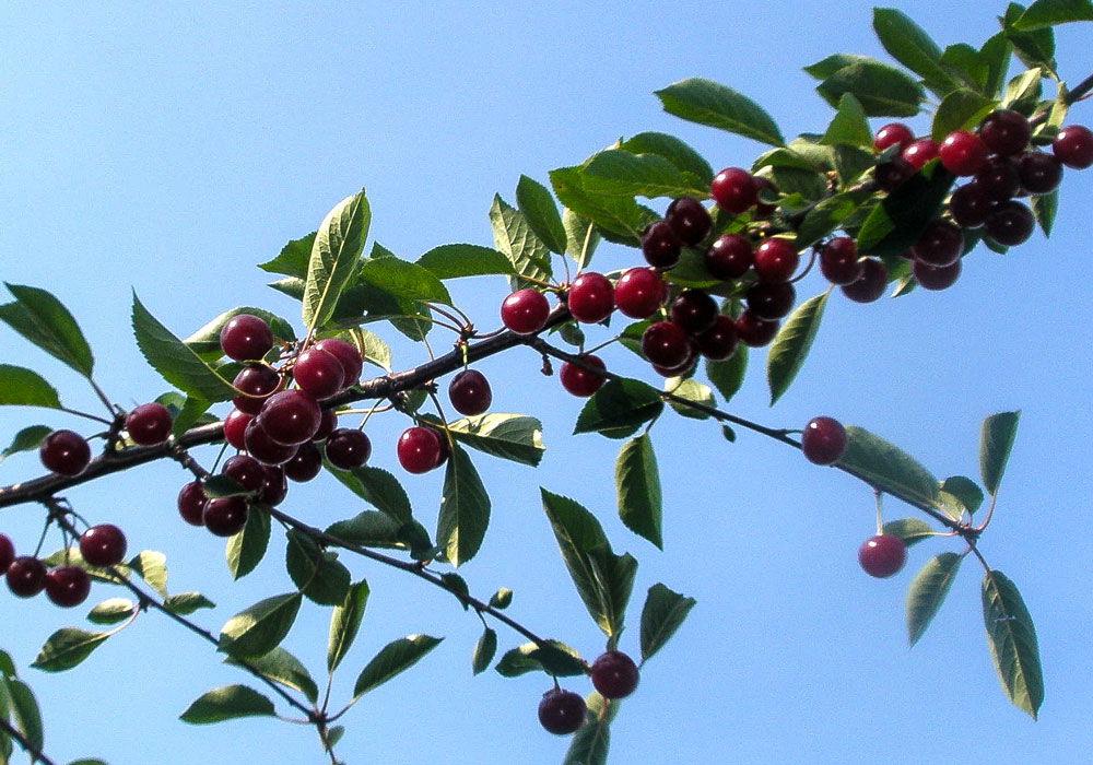 bear mountain orchards cherry picking