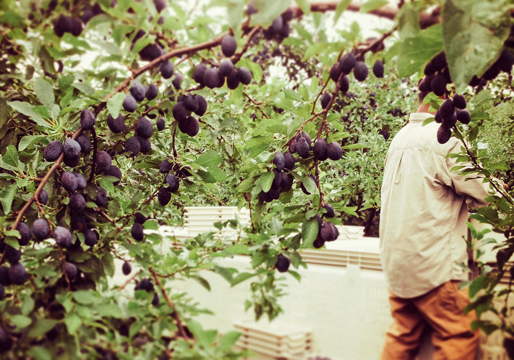 bear mountain orchards plum picking