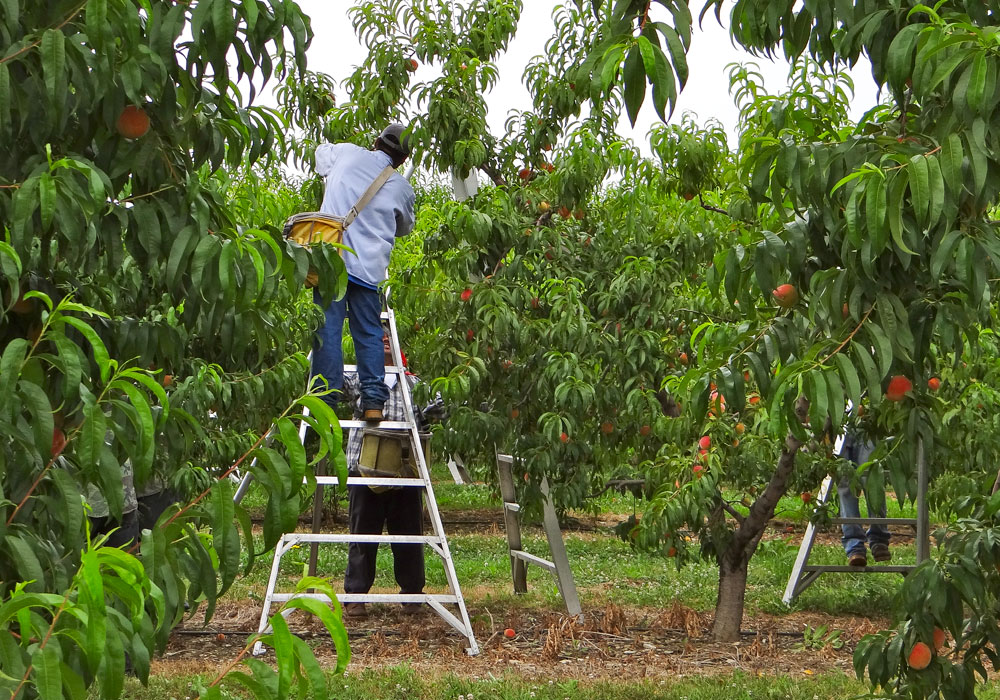 bear mountain orchards peach picking