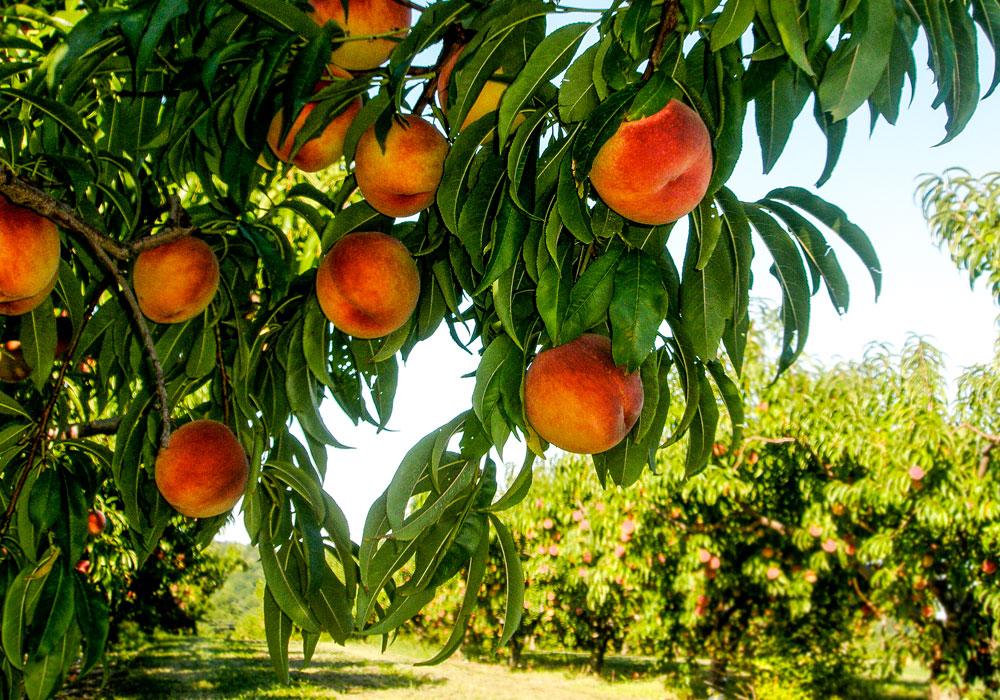 bear mountain orchards peaches