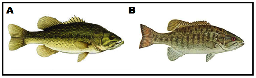 Figure        SEQ Figure \* ARABIC     1      : Morphological difference between A) Largemouth bass, and B) Smallmouth bass. Key differentiating characteristics include base colouration, distinct markings, and mouth pats (size and shape).