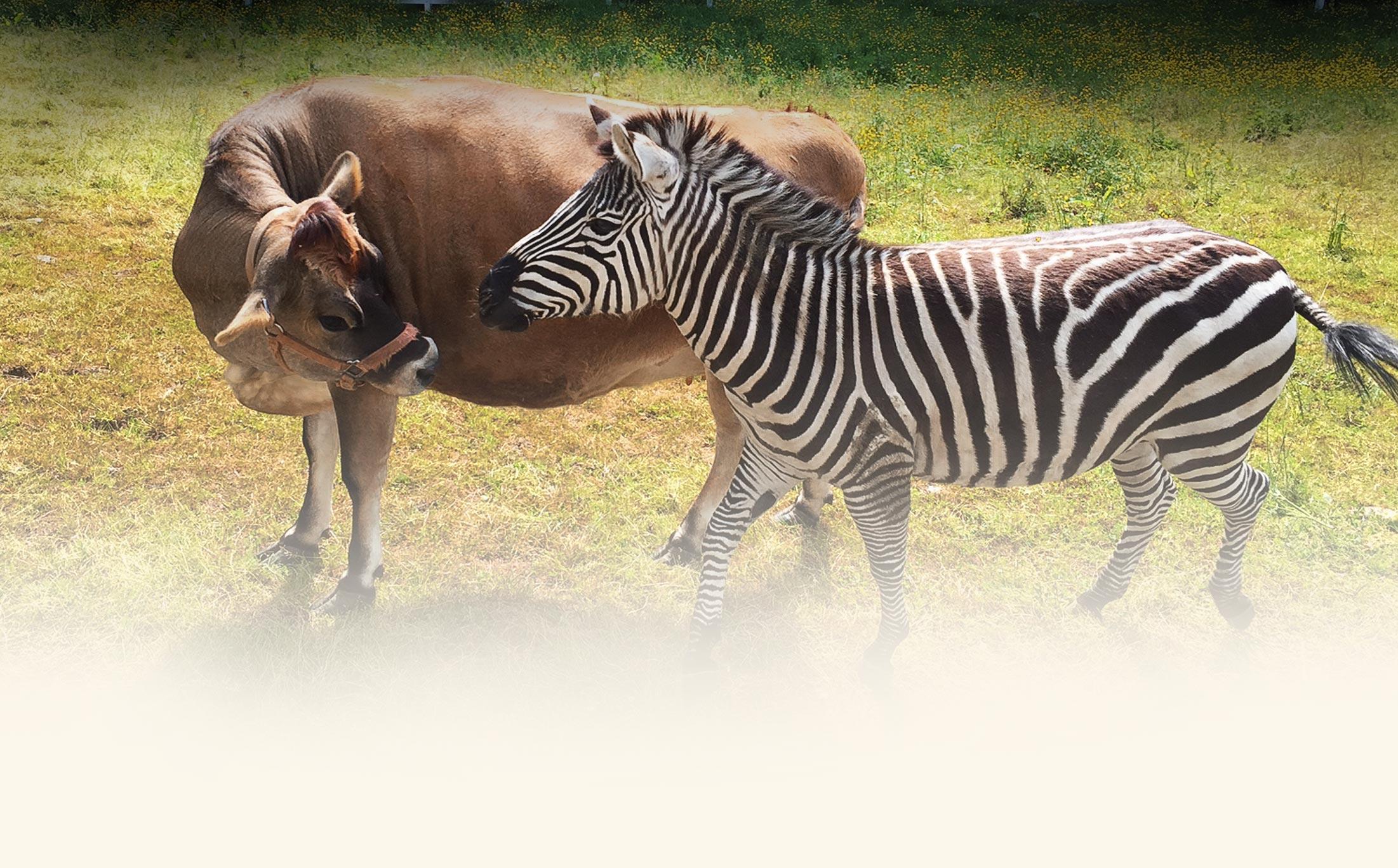 _delilah_spring-zebra-cow.jpg