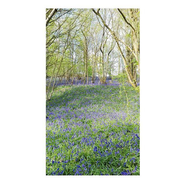 Carpet of bluebells 🌲🌿🌳 . . . #sevenoaks #bluebells #spring #hike #daytrip #flowers #forest