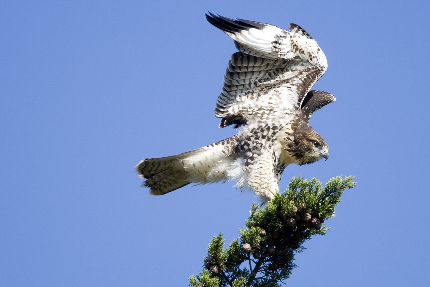 Red-tailed Hawk Fledgling