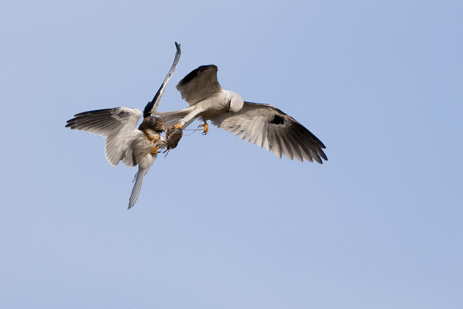 White-tailed Kite hands off vole to juvenile