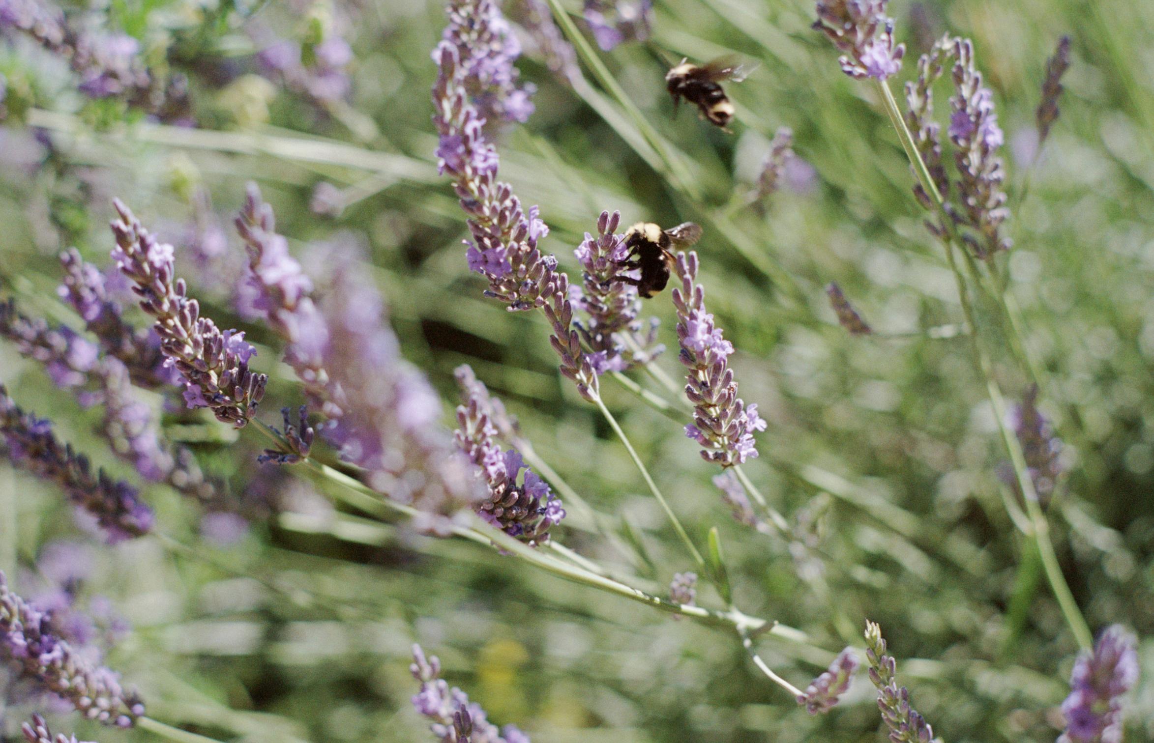 Lavender Honey   17.7 Kodak 400