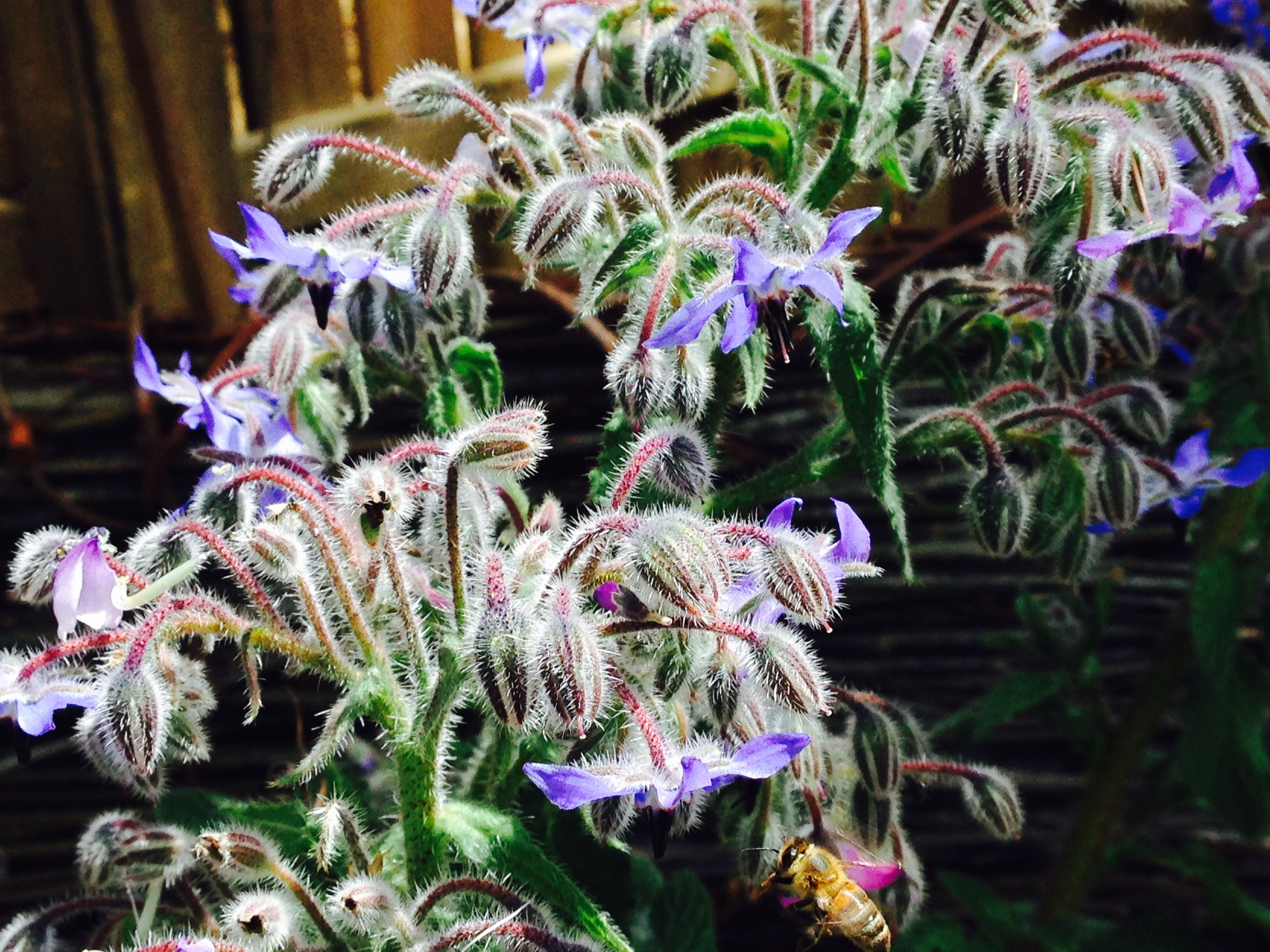 Our borage (and a honeybee) at Lyttleton Gardens
