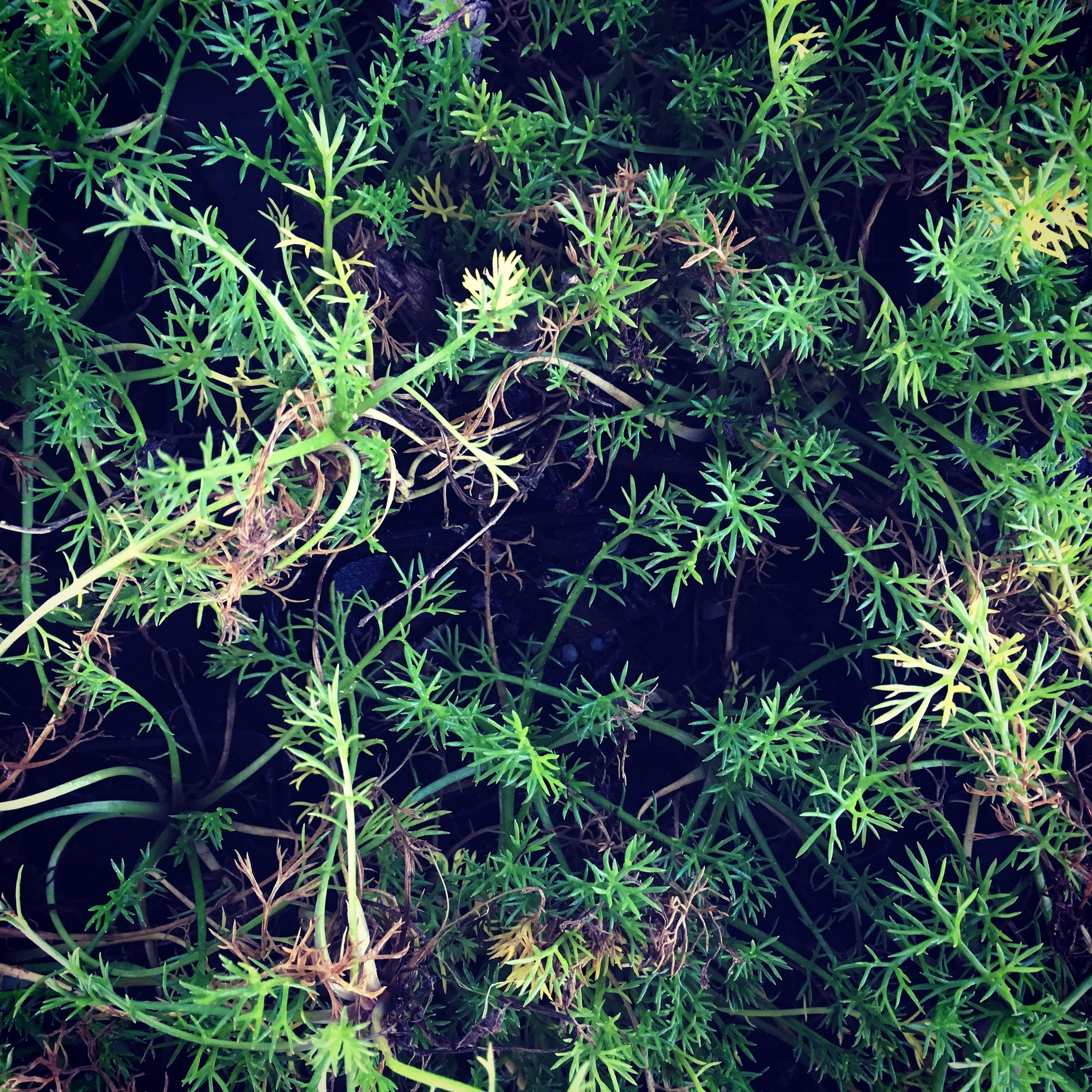 roman chamomile is a wonderful ground cover plant