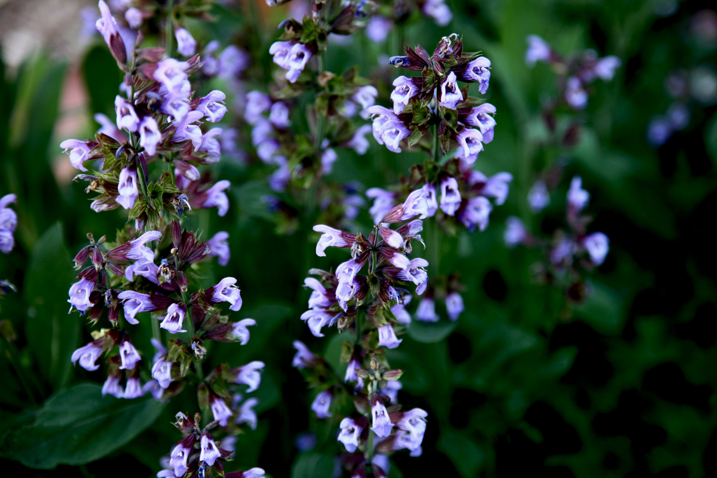 Common sage flowers.