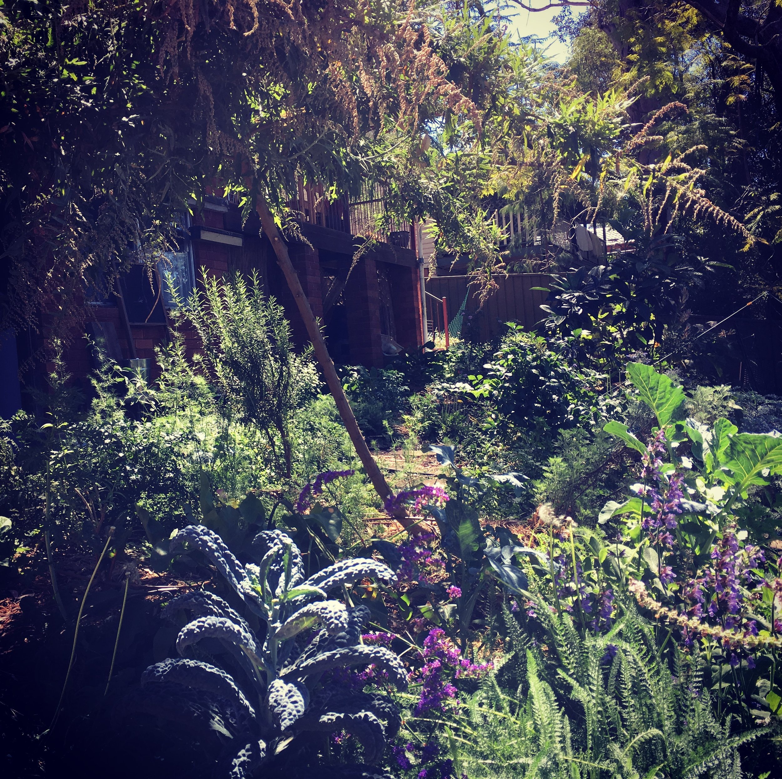 Yarrow Gardens: Manu's back yard in the Lower Blue Mountains. In this shot, you can see Tuscan kale, yarrow, mugwort, rosemary, chamomile, dandelion, statice, broccoli, nigella, french sorrel, valerian, loquat tree, dwarf avocado, carrot and sweet potato.