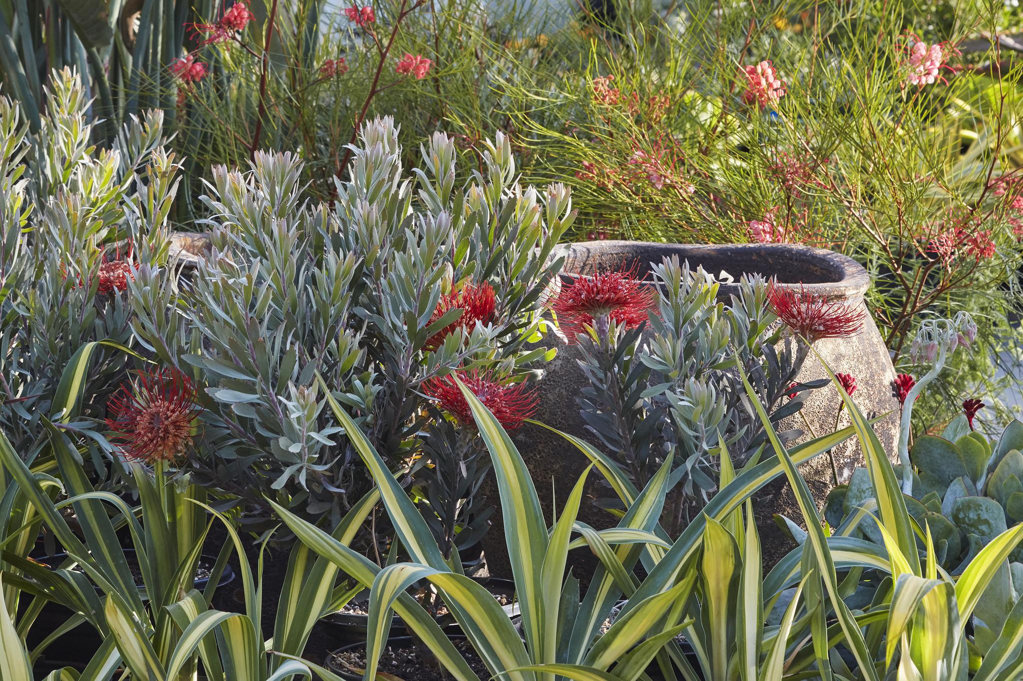 Proteaceae at Flora Grubb Gardens. Leucospermum 'Blanche Ito' and Grevillea 'Long John'. .jpg