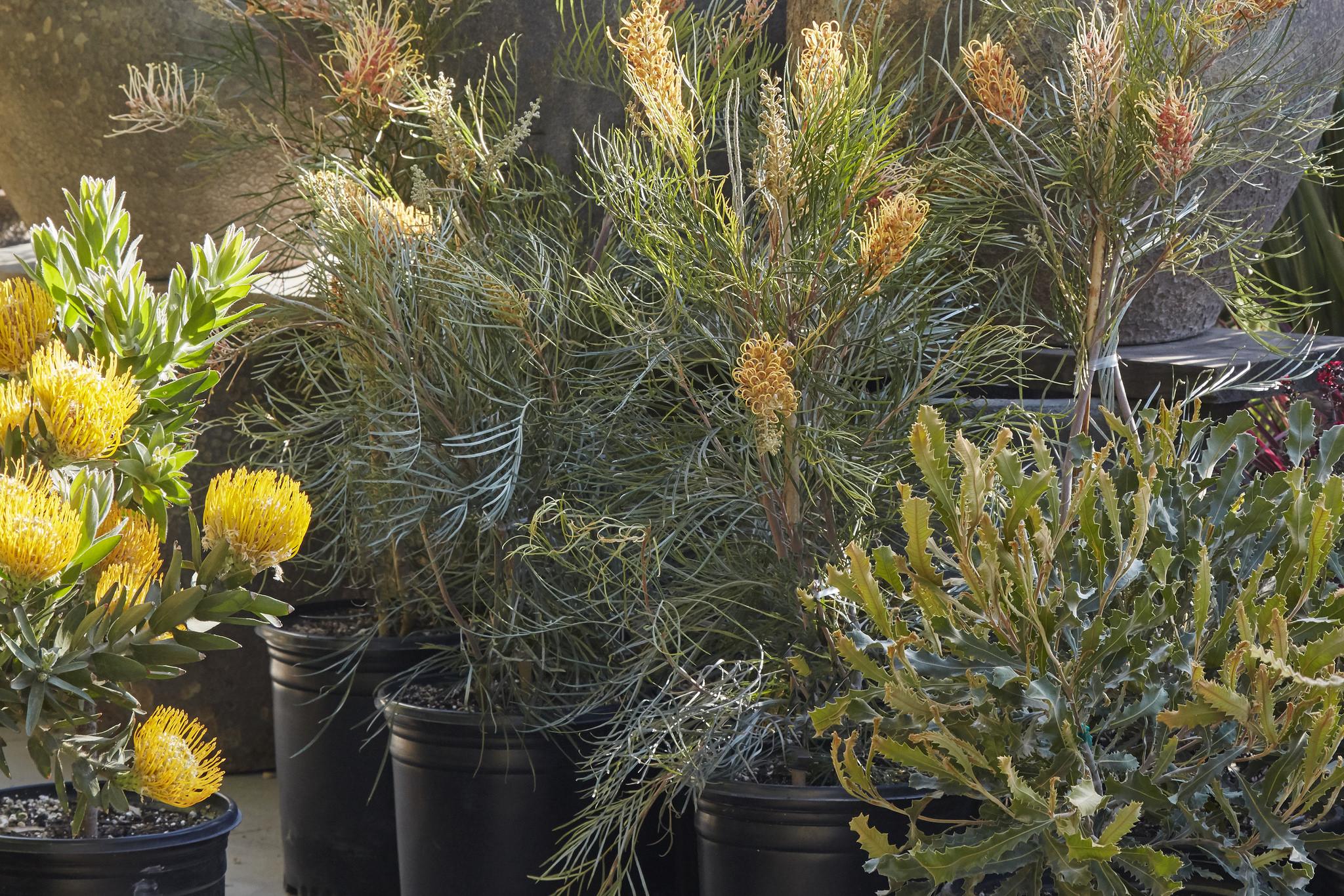 Proteaceae at Flora Grubb Gardens Banksia, Leucospermum, and Grevillea. .jpg