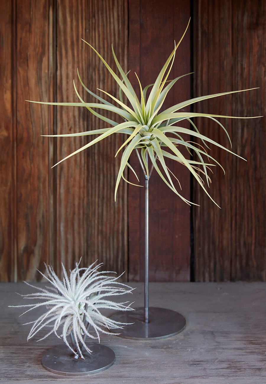 Flora Grubb Gardens Tillandsia and Thigmatrope Air Plant Stand.png